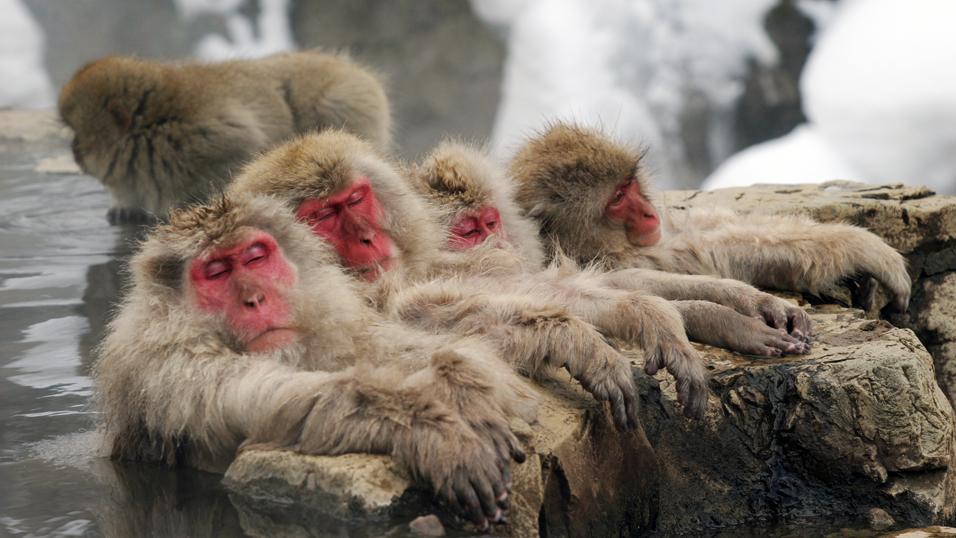 monkey hotspring japanese onsen Jigokudani Yaen Koen the Snow Monkey Park Nagano